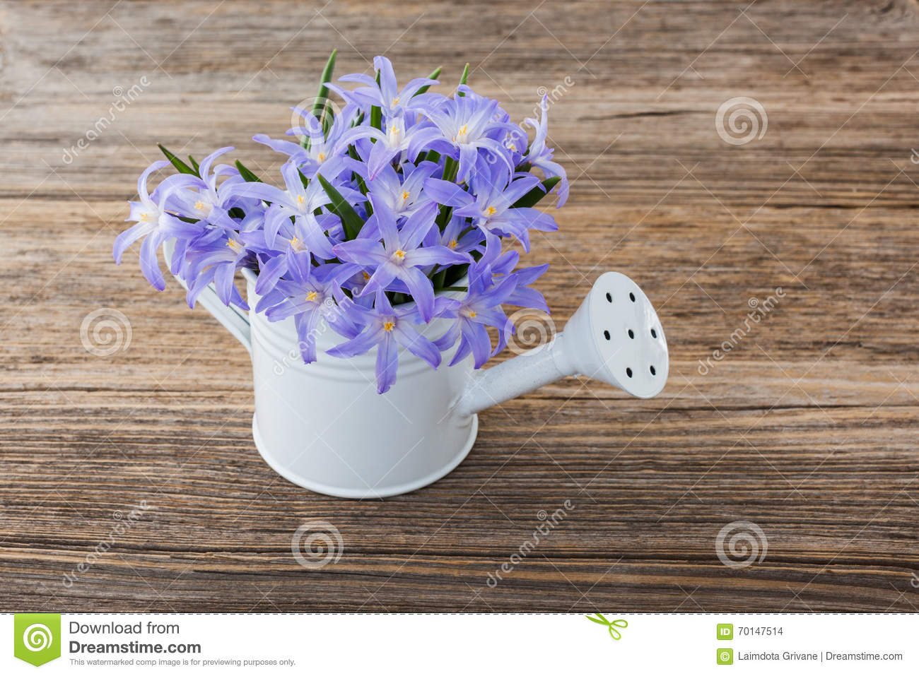 Blue Spring Flowers In Small Watering Can On Wooden Background Stock