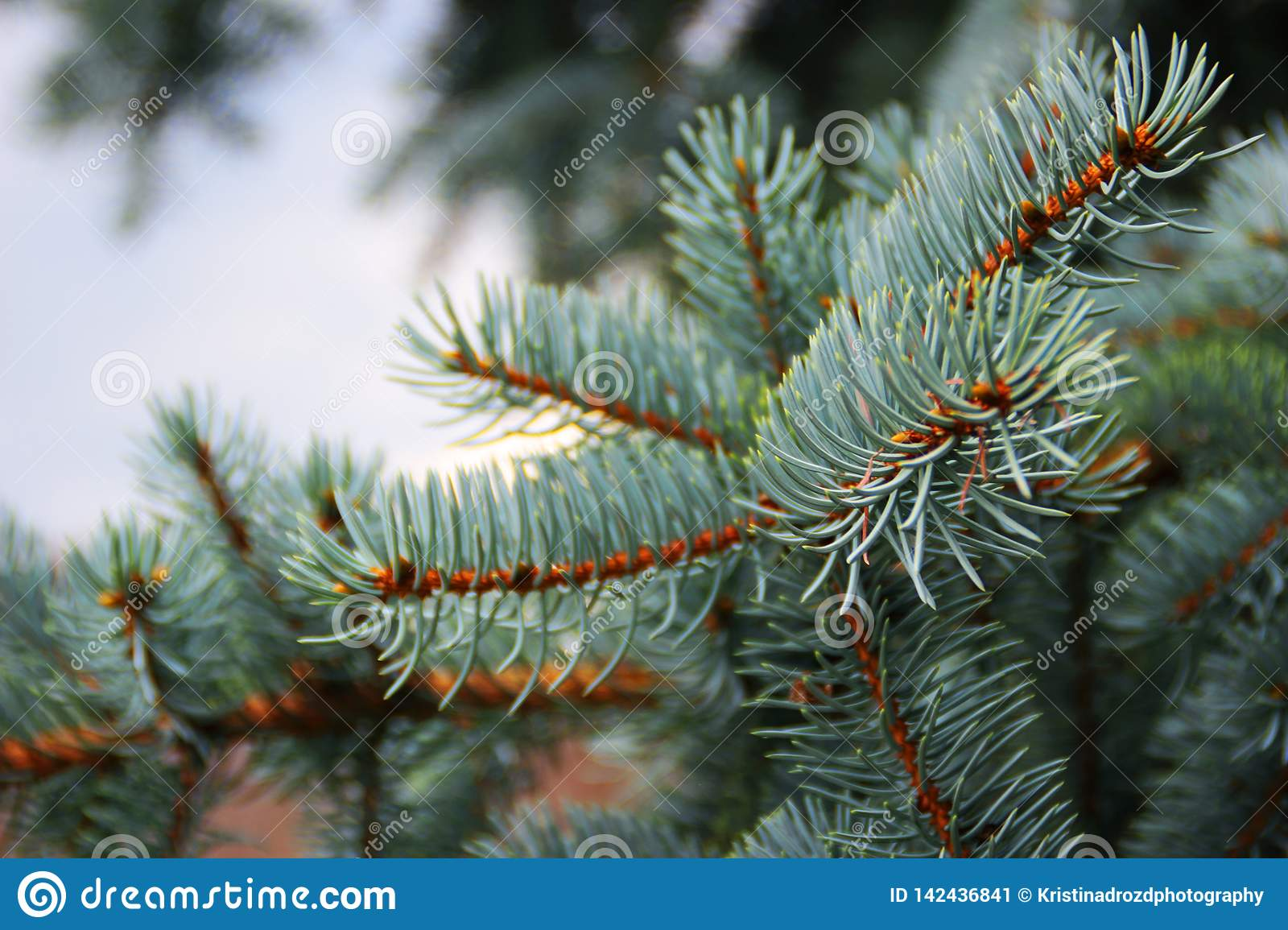 Blue spruce branch in a cloudy day