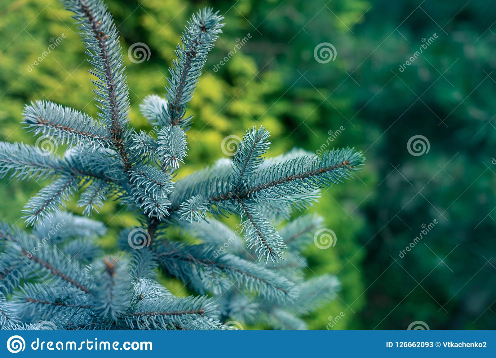 Blue Spruce Branches. Blue Spruce, White Spruce, Colorado Spruce, Picea Pungens Branches Close Up Stock Photos