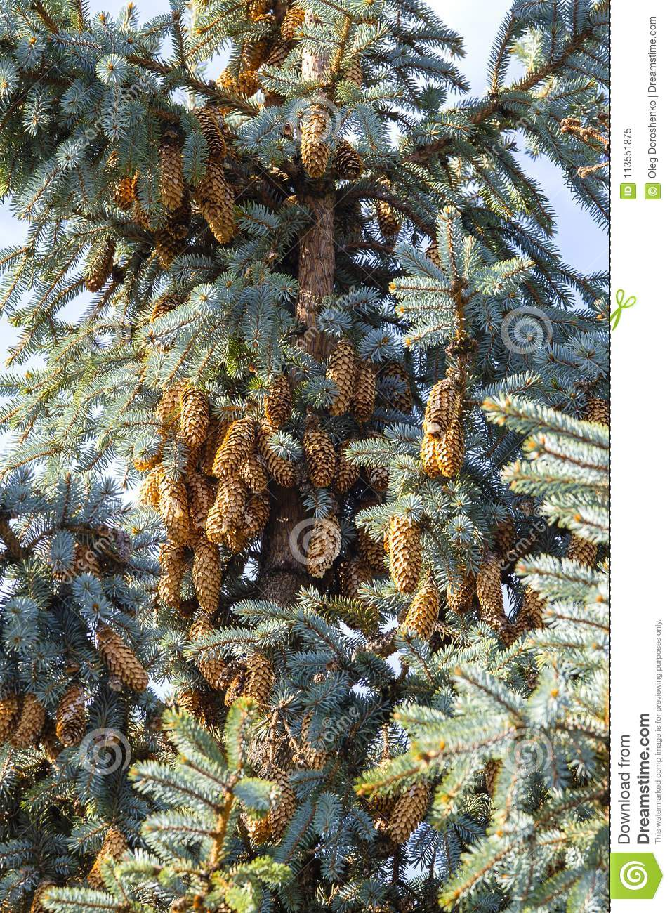 Blue spruce tree close-up. Christmas tree. Pine tree or fir tree with cones in Carpathian mountains