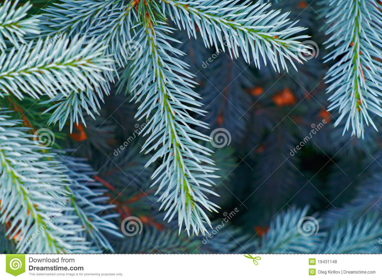 blue spruce tree closeup stock photo  image of foliage