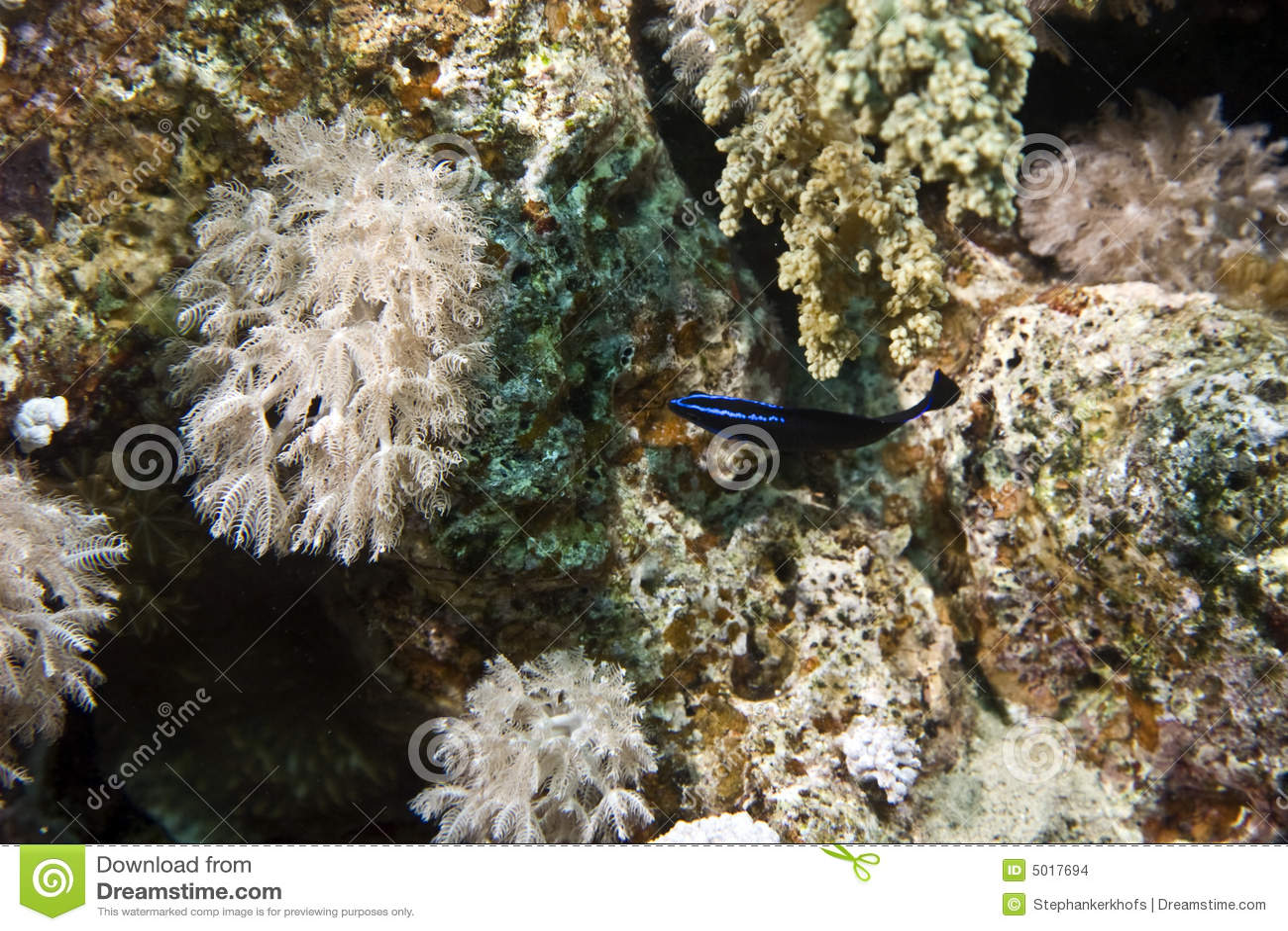 Blue-striped dottyback (pseudochromis springeri)