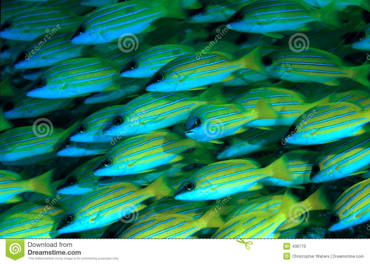 Blue stripped Snappers