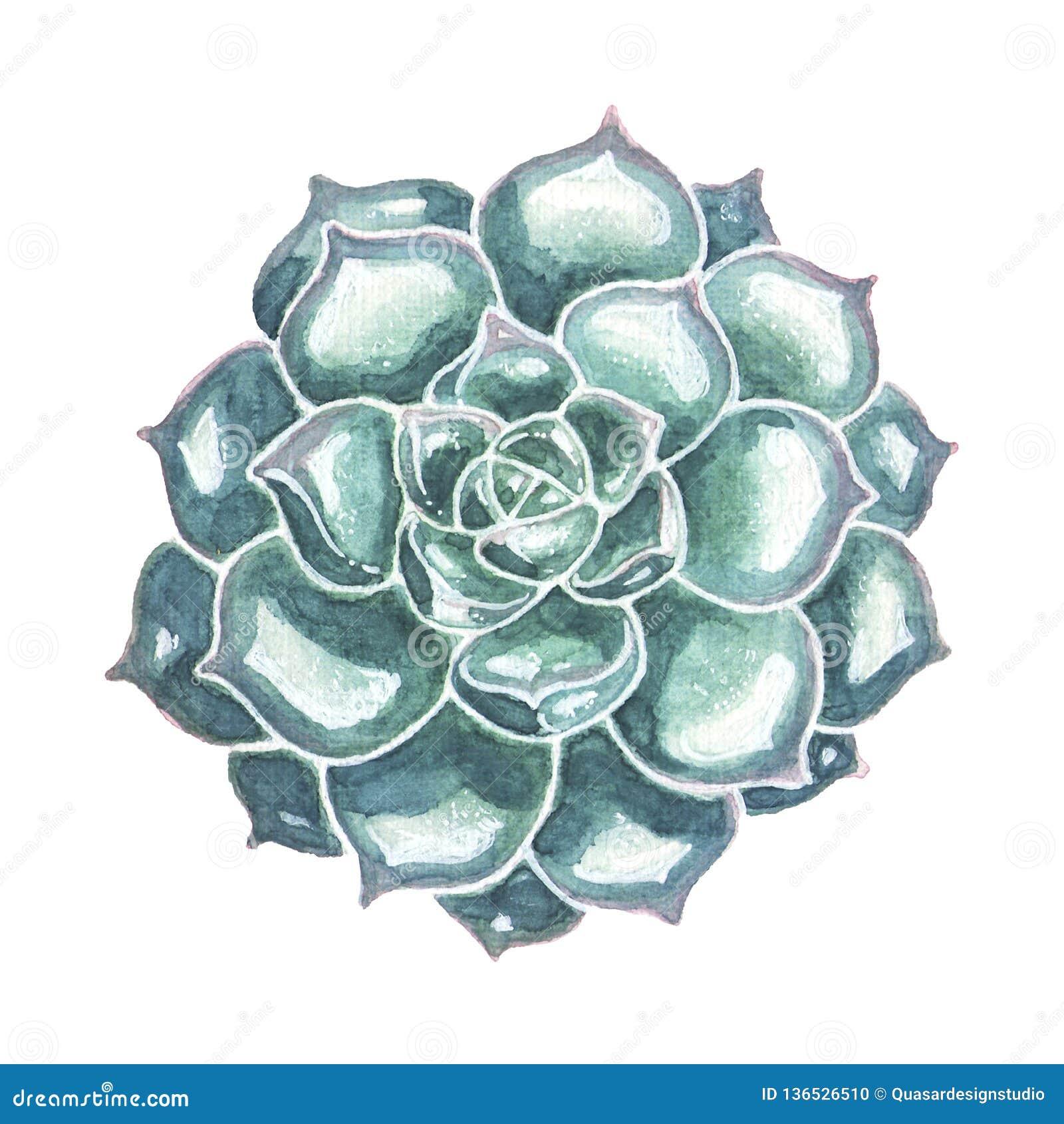 Blue Succulent Closeup Watercolor Illustration Stock Illustration Illustration Of Botany Floral 136526510