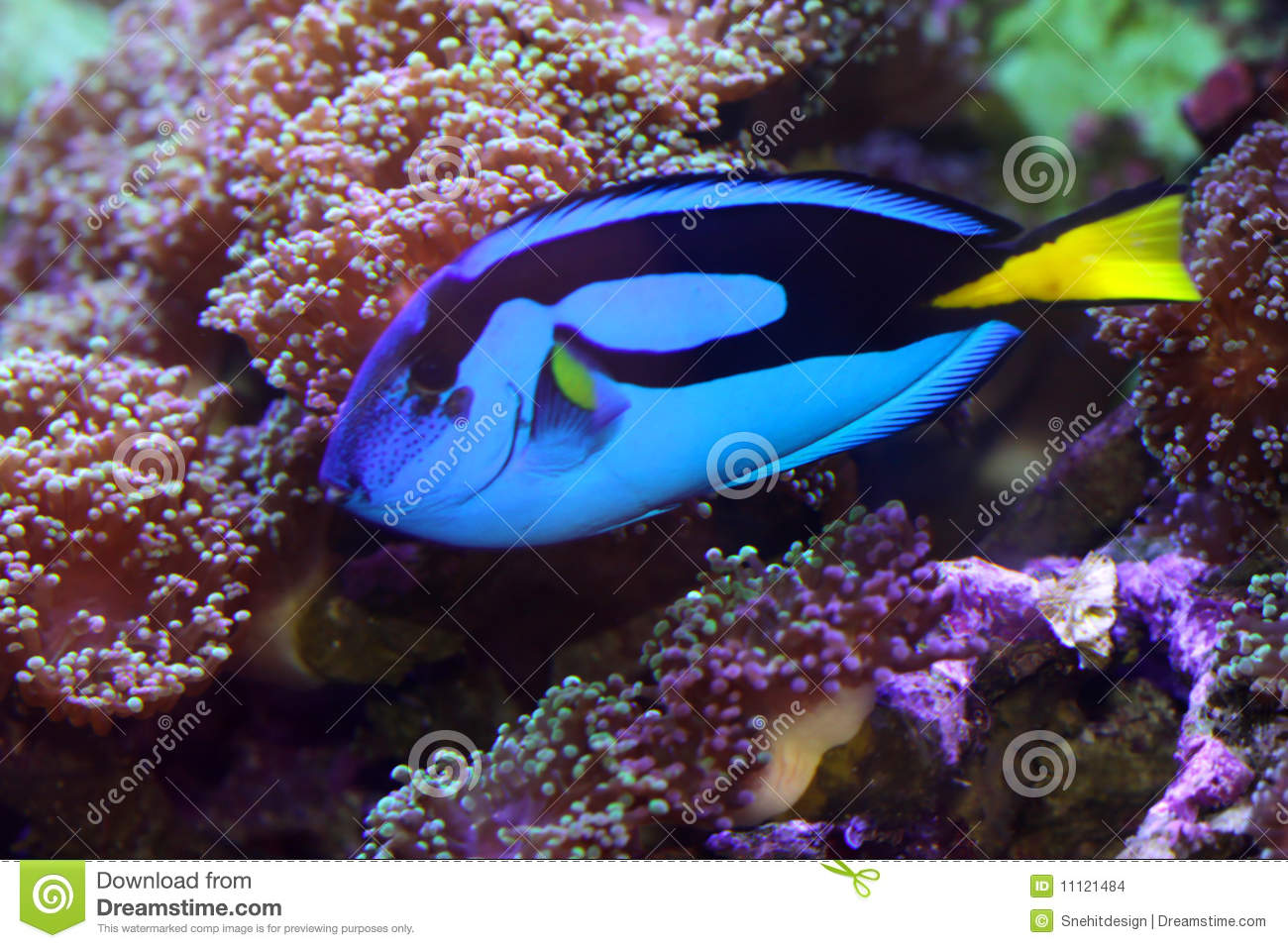 Blue tang fish stock images image 11121484 for Blue tang fish price