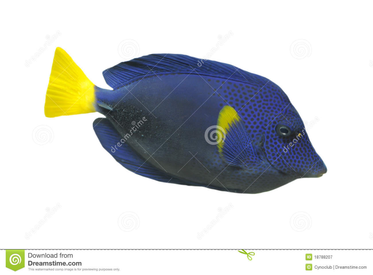 Blue tang fish royalty free stock photography image for Blue tang fish price