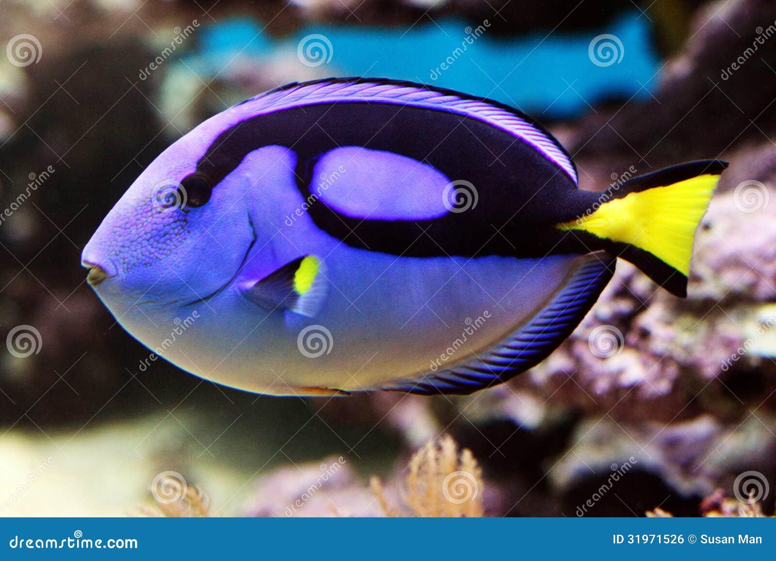 Blue tang paracanthursus hepatus royalty free stock for Popular saltwater fish
