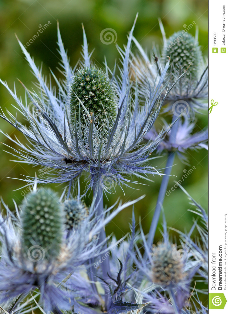 Blue Thistle Royalty Free Stock Images - Image: 1293599
