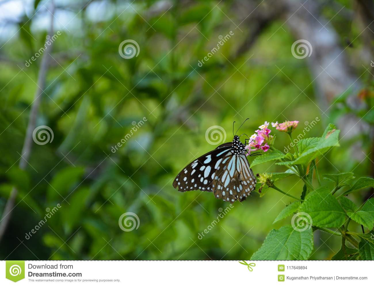 Blue tiger butterfly and Lantana plant