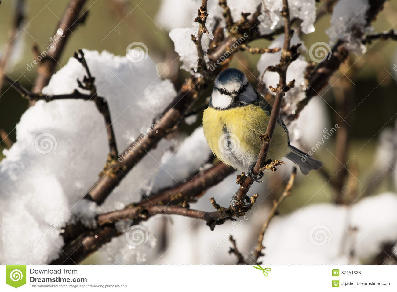 Blue tit in bush with snow