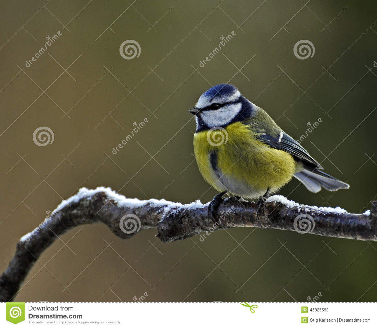 Blue Tit with snow