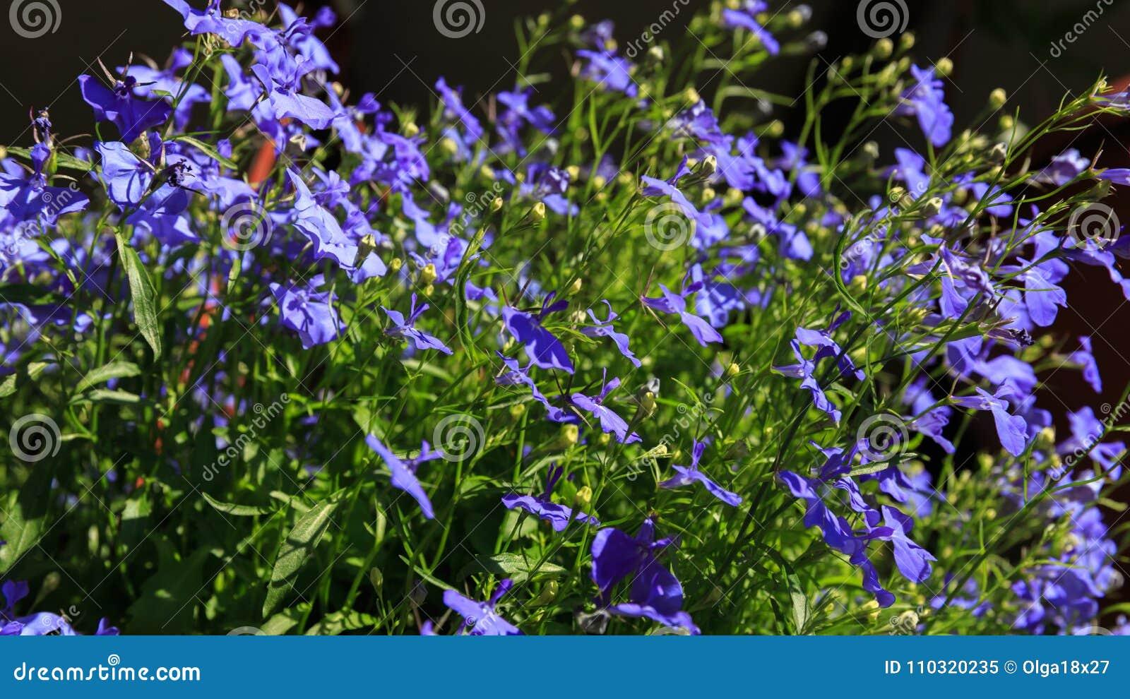 Blue Trailing Lobelia Sapphire Flowers Or Edging Lobelia Garden