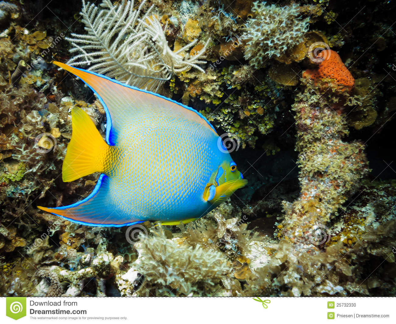 Blue tropical queen angel fish on coral reef stock photo for Blue saltwater fish