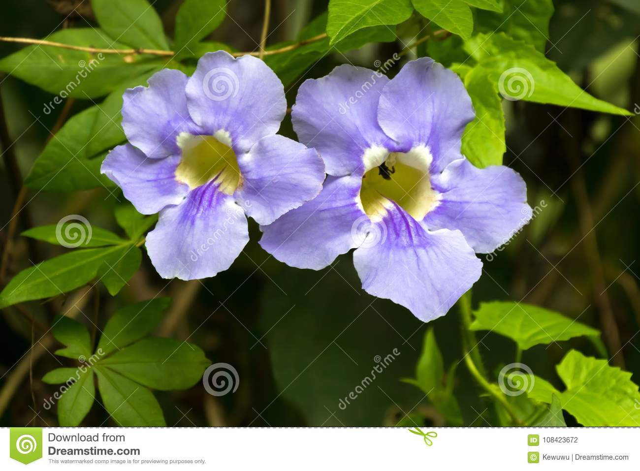 Blue Trumpet Vine Flower In Blue With Yellow Inside Growing In