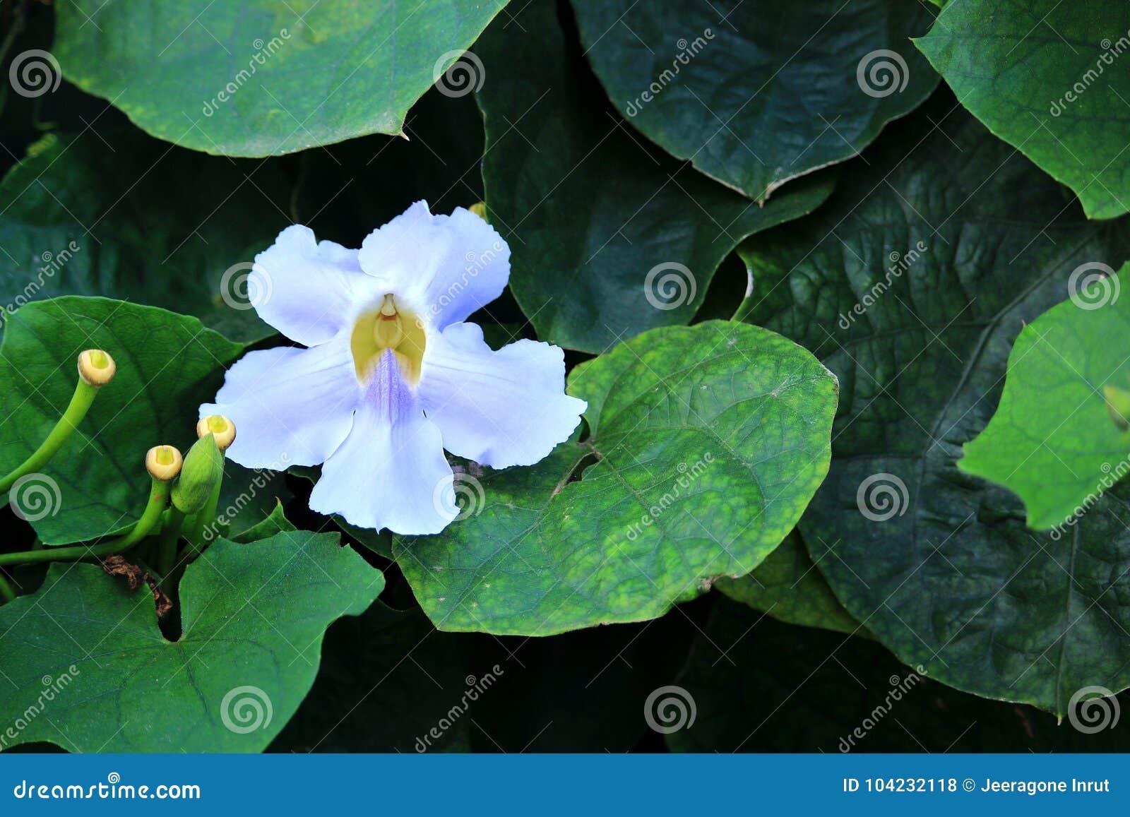 Blue trumpet vine flower stock photo image of flower 104232118 download blue trumpet vine flower stock photo image of flower 104232118 izmirmasajfo
