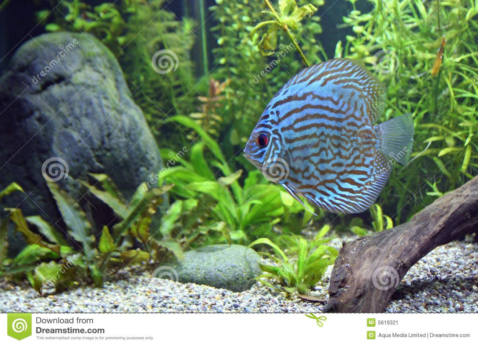 Blue turquoise discus fish blue turquoise discus fish