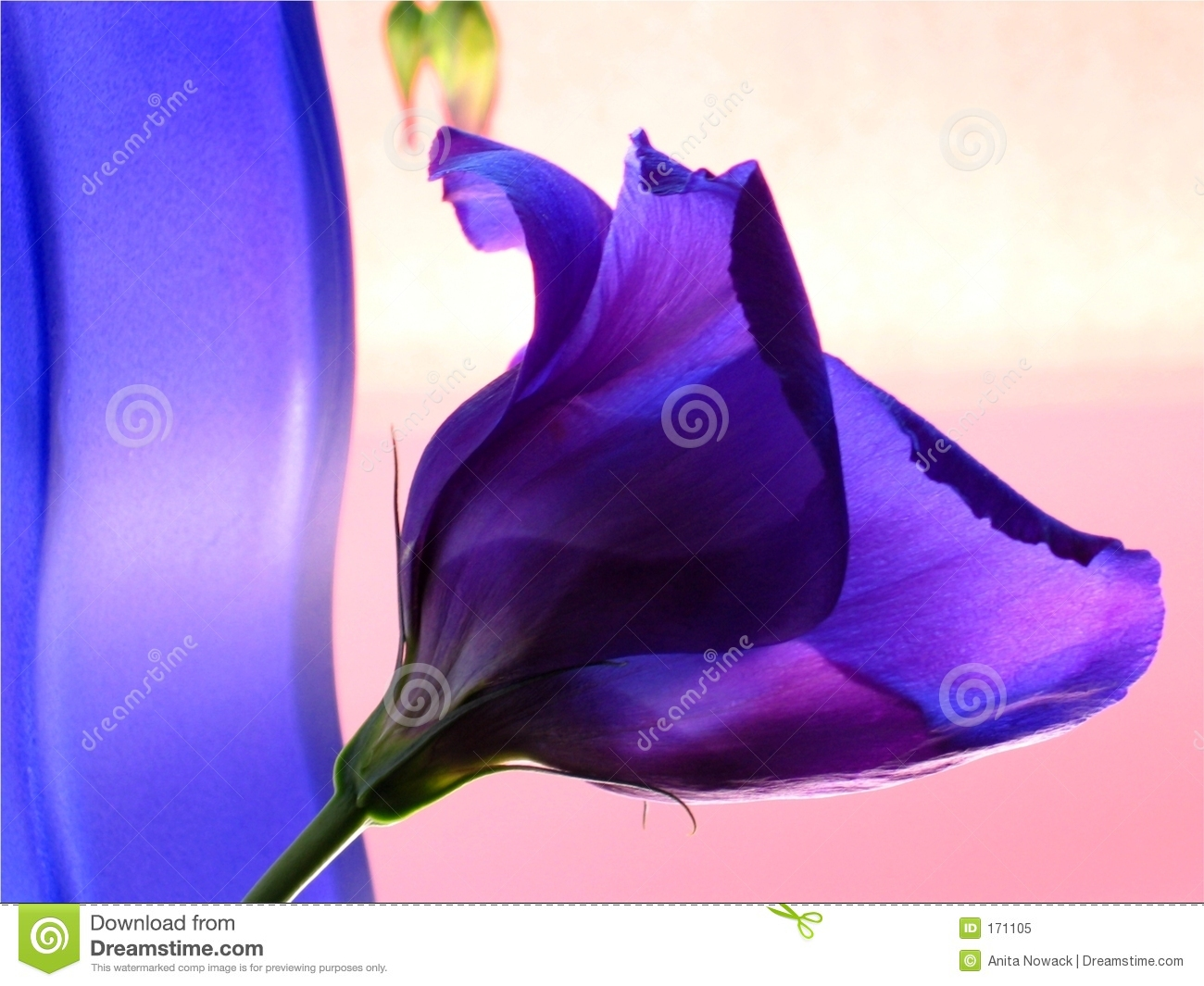 Blue vase and blue flower in pink background