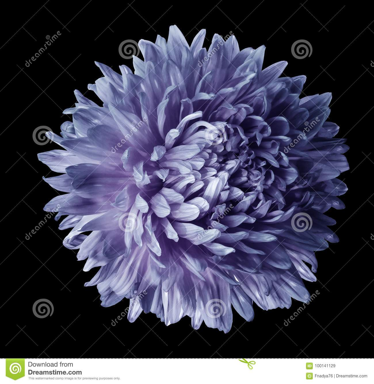 Blue Violet Aster Flower Isolated On Black Background With Clipping