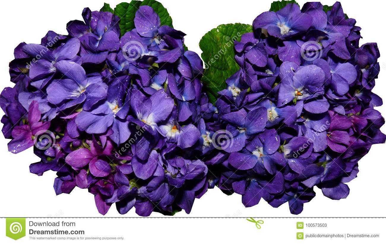 Free Public Domain Cc0 Image Blue Violet Flower Purple Picture