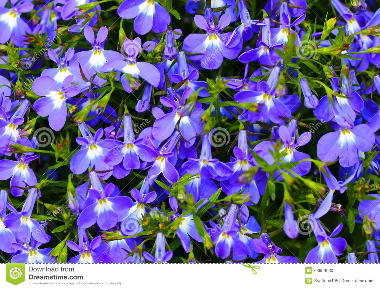 Blue Violet Flowers Background Stock Photo Image Of Pattern Petal