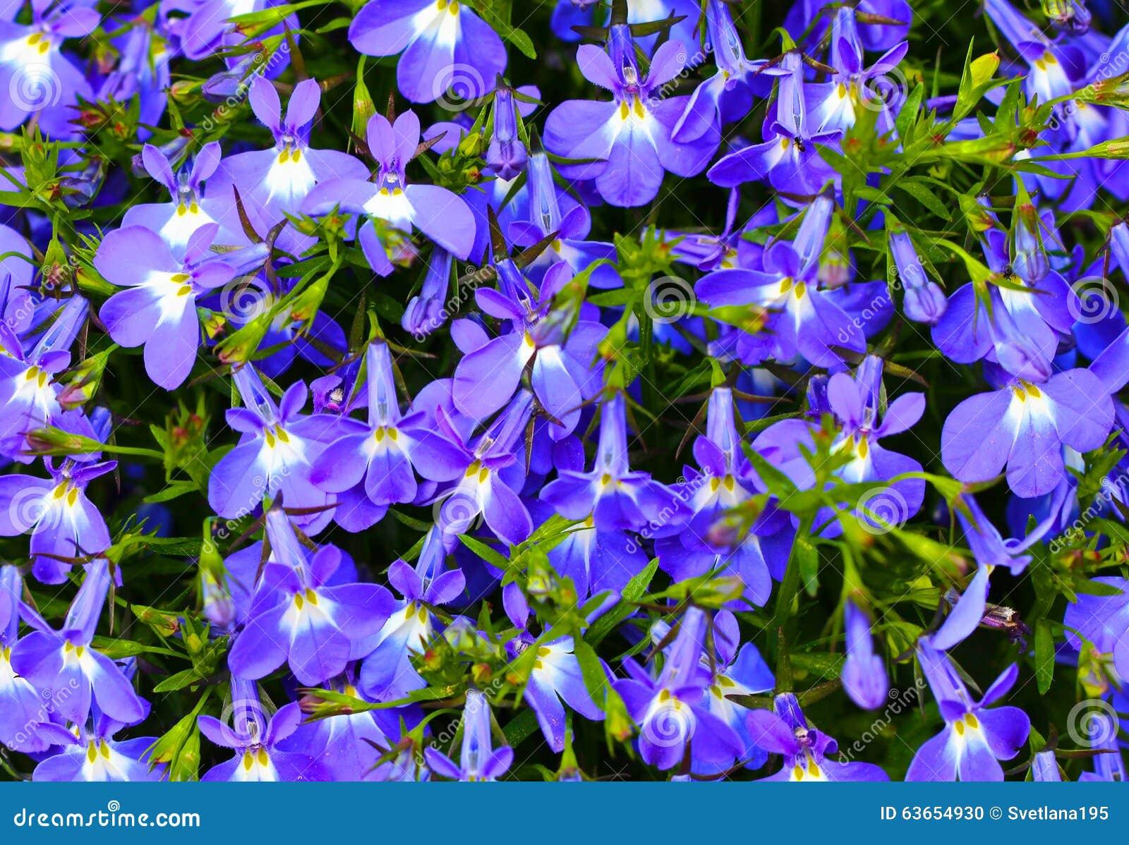 Blue violet flowers background stock photo image of pattern petal download blue violet flowers background stock photo image of pattern petal 63654930 izmirmasajfo