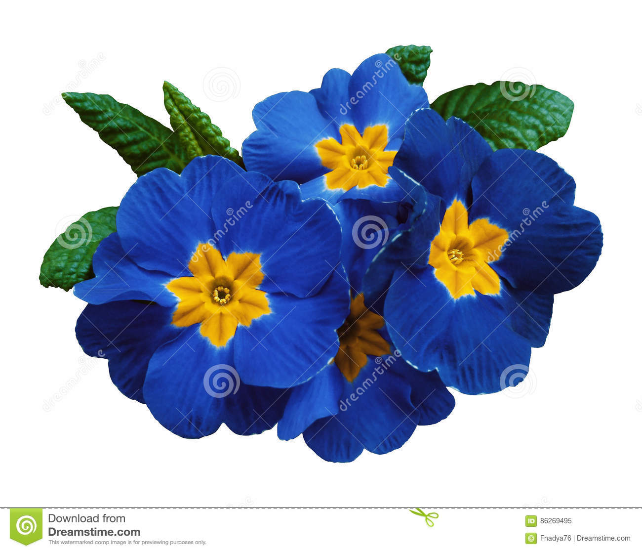 Blue Violets Flower White Isolated Background With