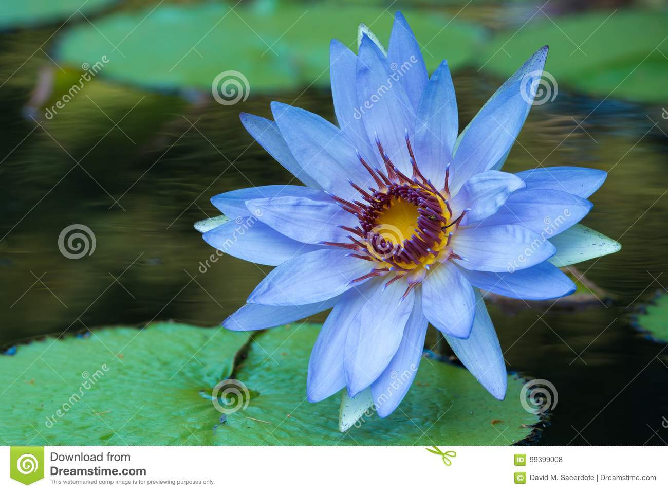 Blue water lily bloom in pond stock photo image of peaceful blue water lily bloom in pond izmirmasajfo