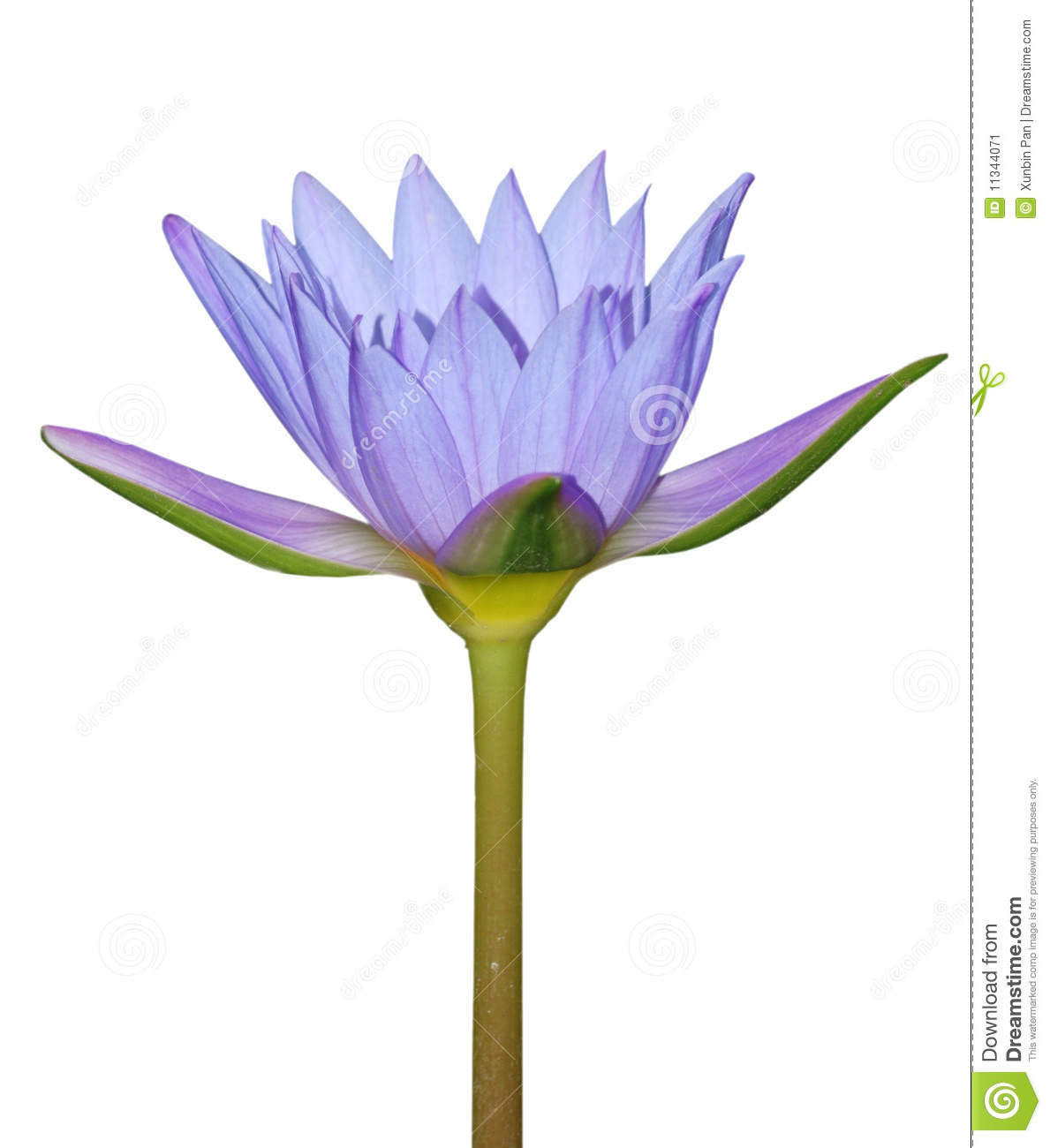 Blue water lily flower stock image image of bloom lily 11344071 download blue water lily flower stock image image of bloom lily 11344071 izmirmasajfo