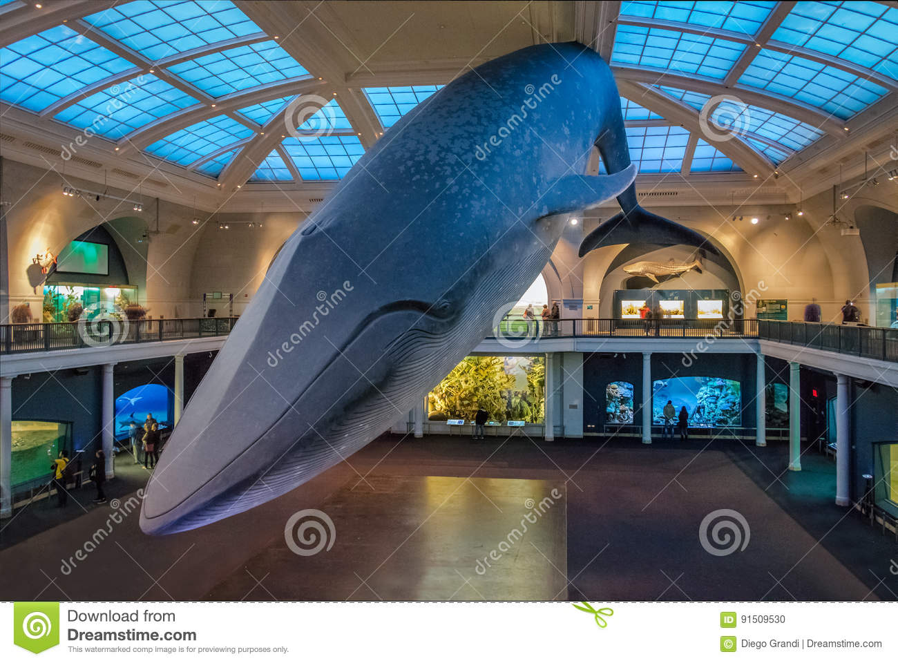 Blue Whale at Ocean Hall of the American museum of Natural History AMNH - New York, USA