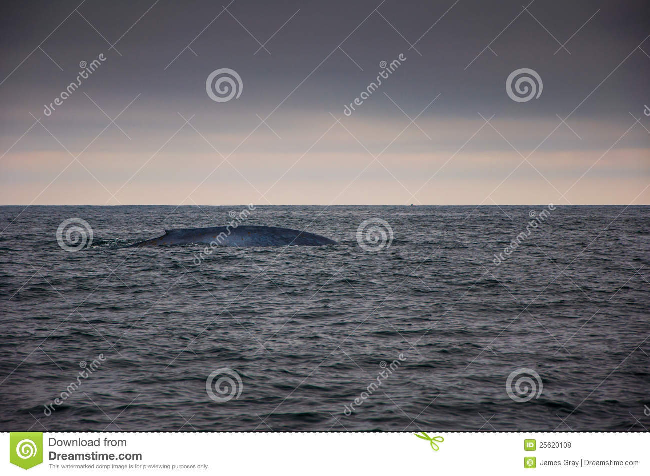 Blue whale in sea
