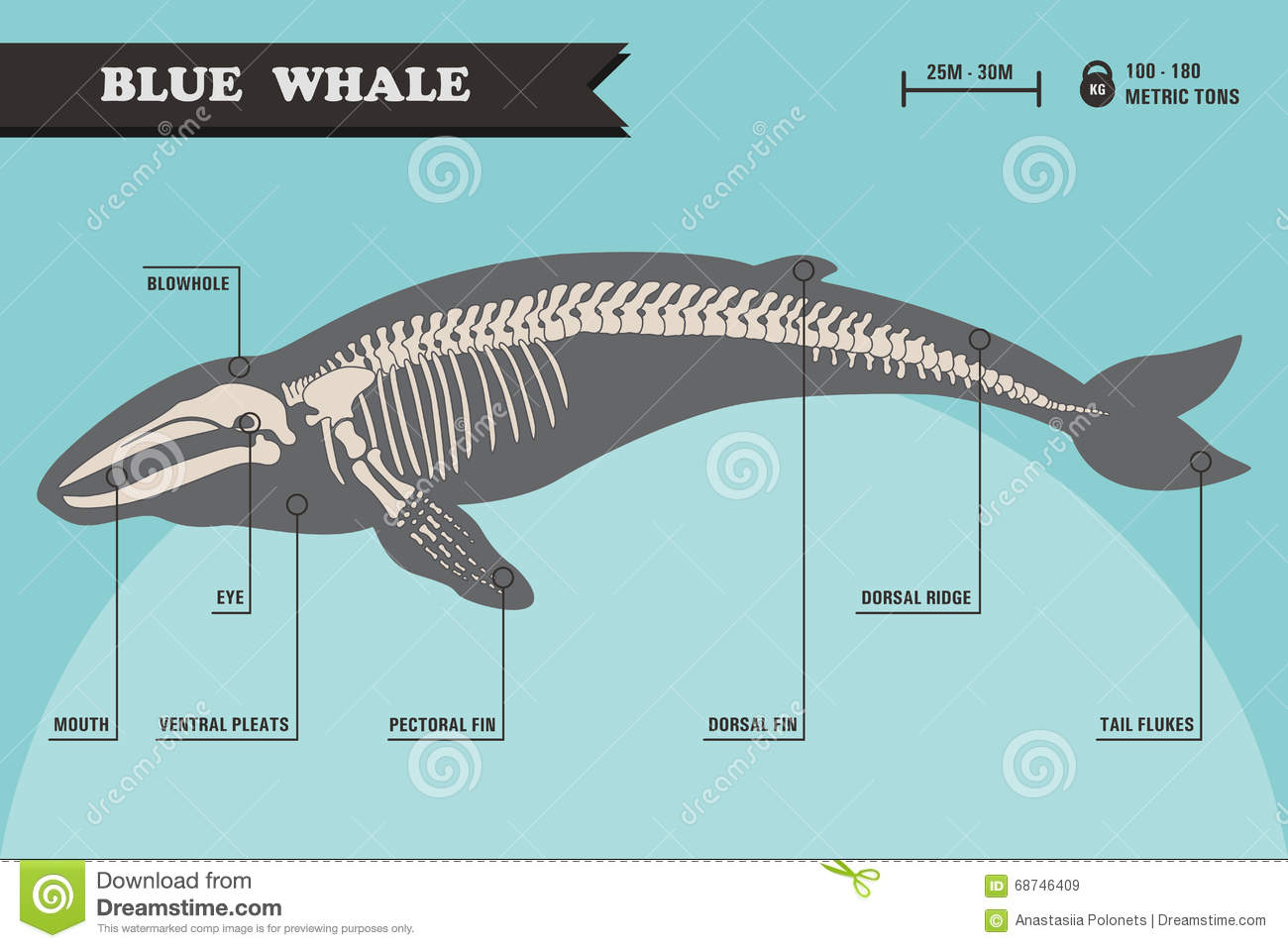blue whale skeleton stock vector image 68746409 baby blue whale clipart baby blue whale clipart