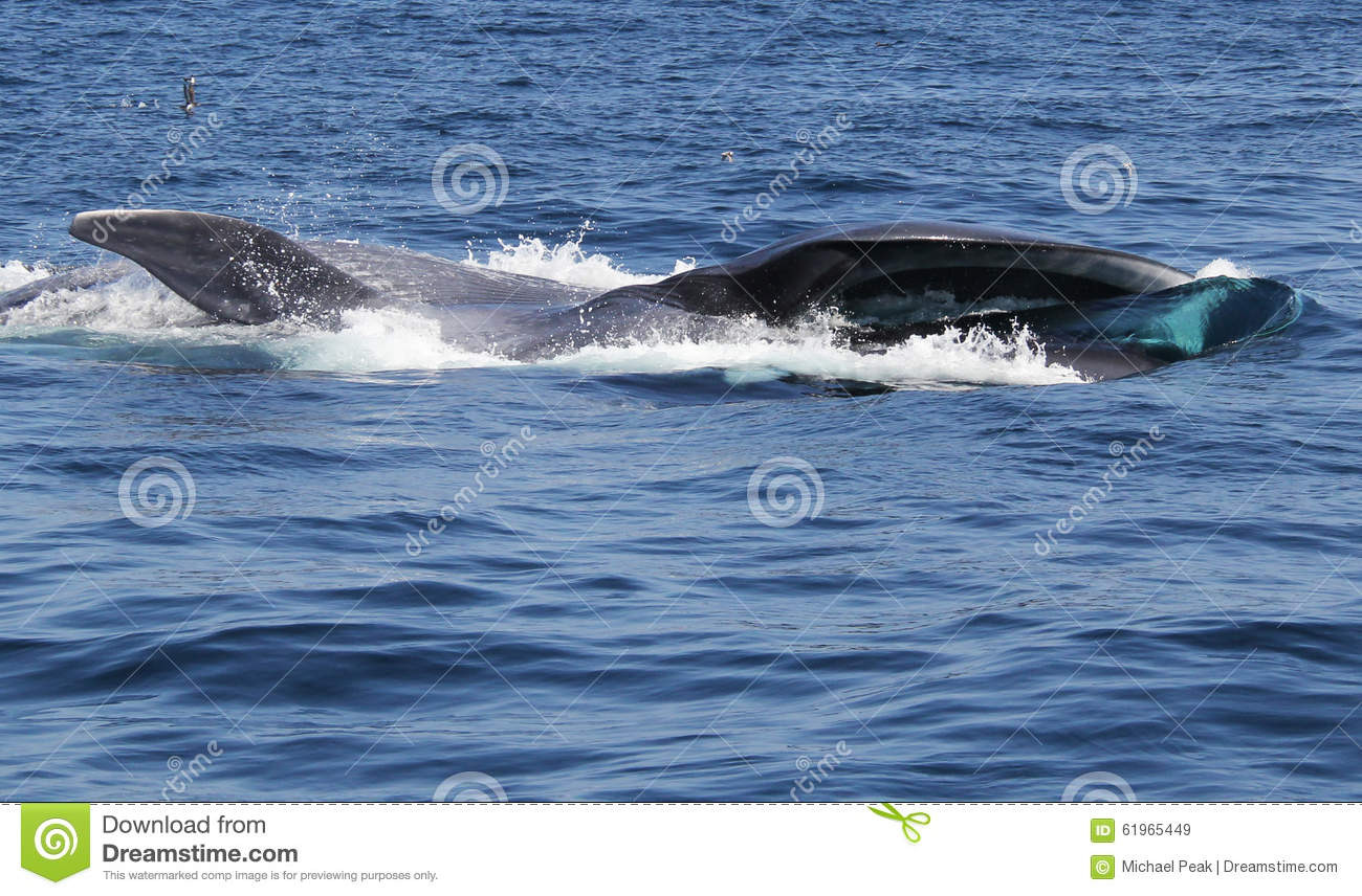 Blue Whale Surface Feeding on Krill