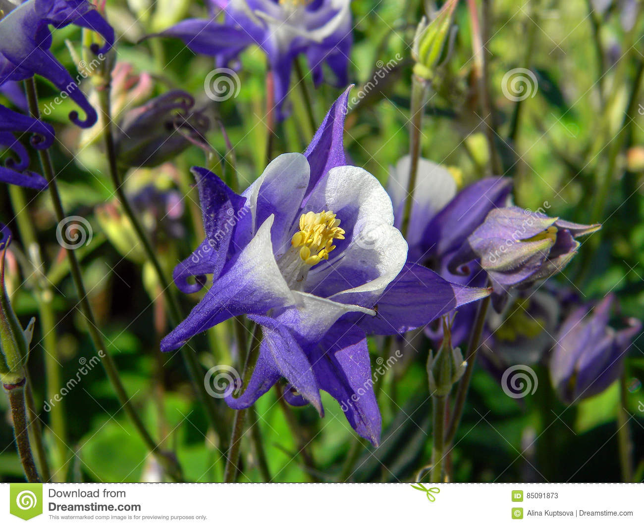 Blue And White Aquilegia Flowers Stock Image Image Of Elegant