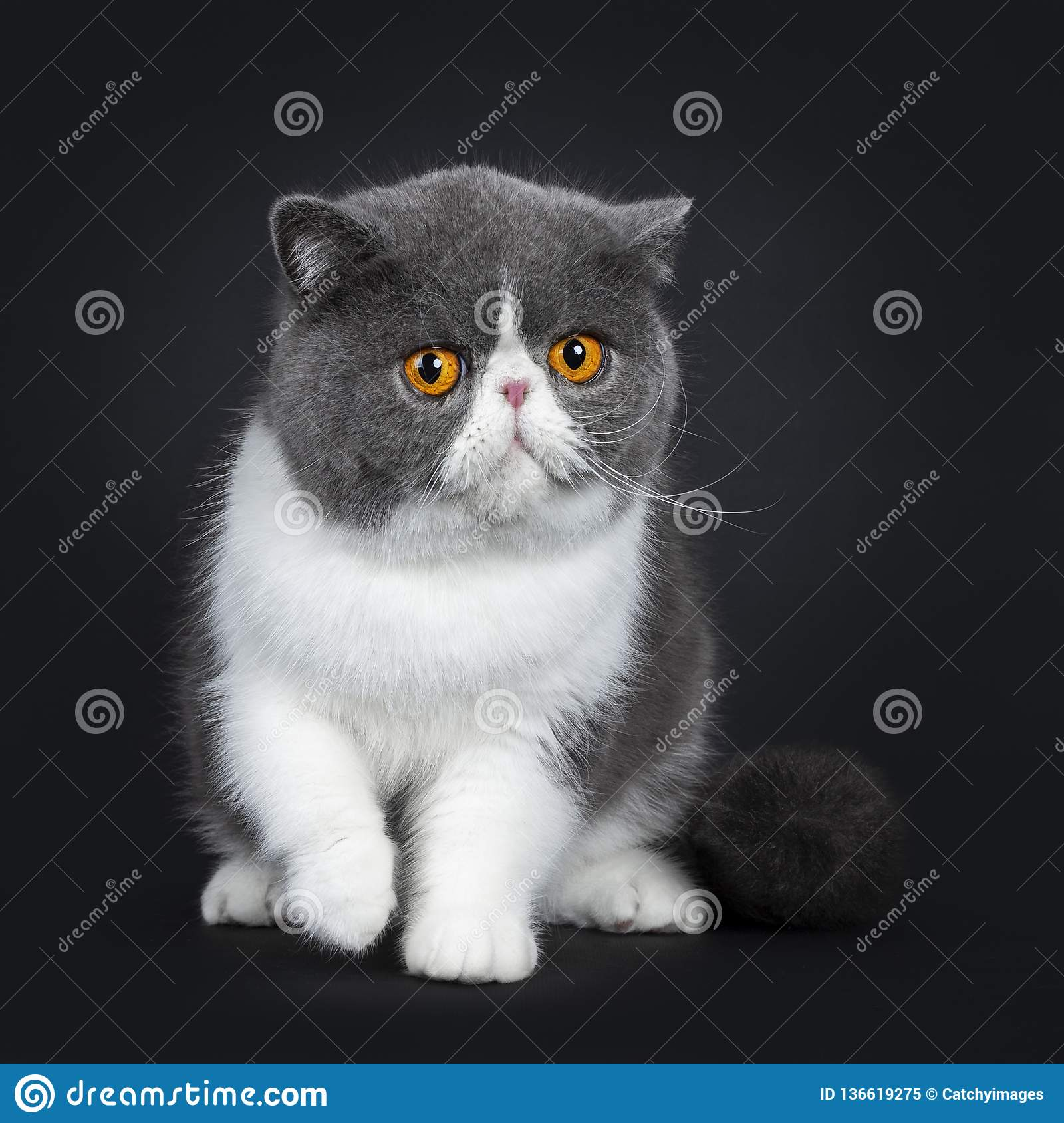 Blue With White Cute Exotic Shorthair Cat Kitten, Isolated
