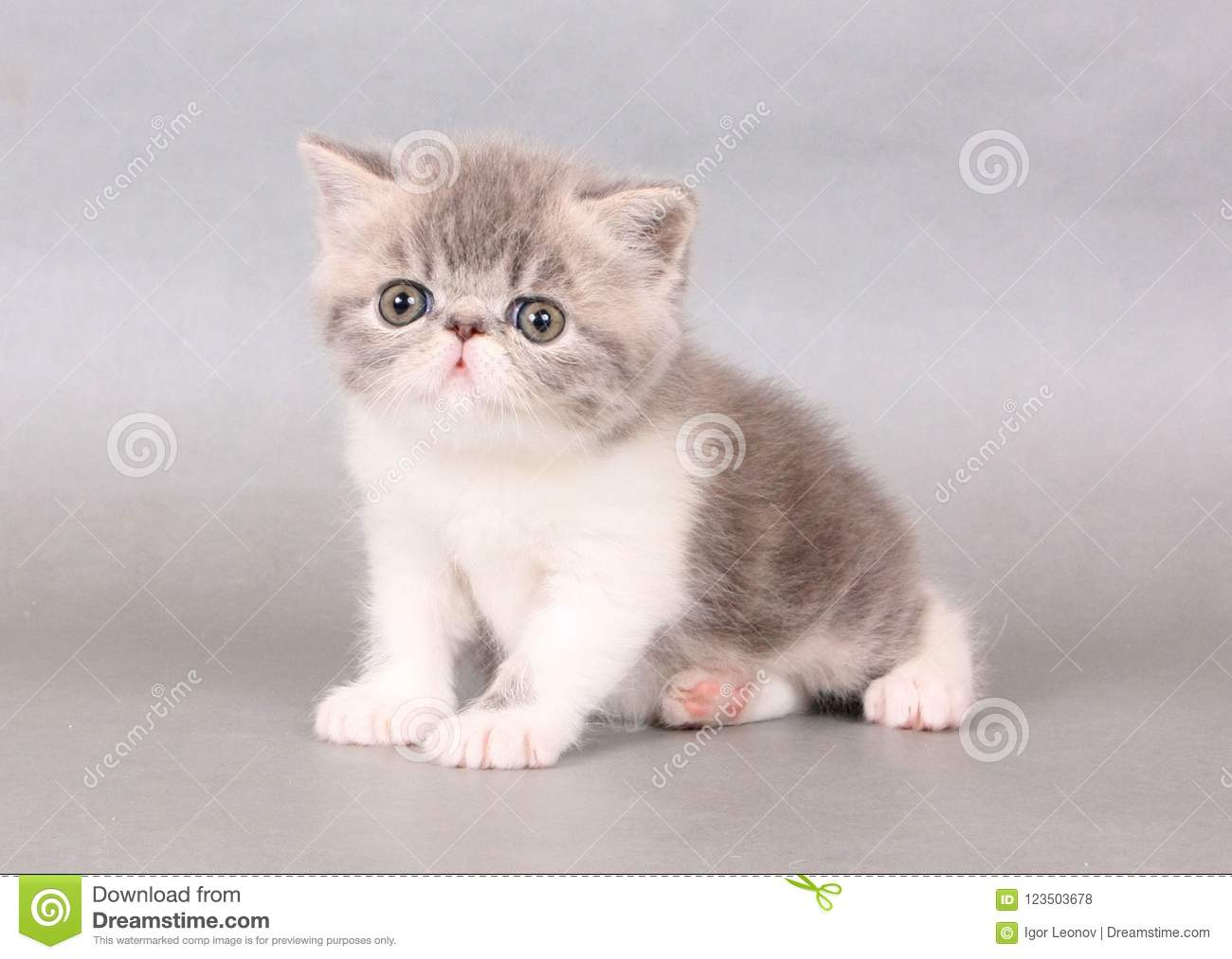 Blue And White Exotic Shorthair Male Stock Photo - Image of