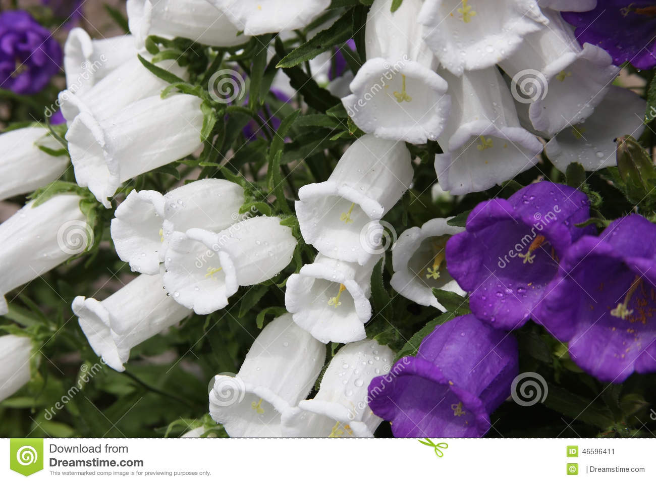 Blue And White Flowers Of The Giant Bell Stock Image Image Of
