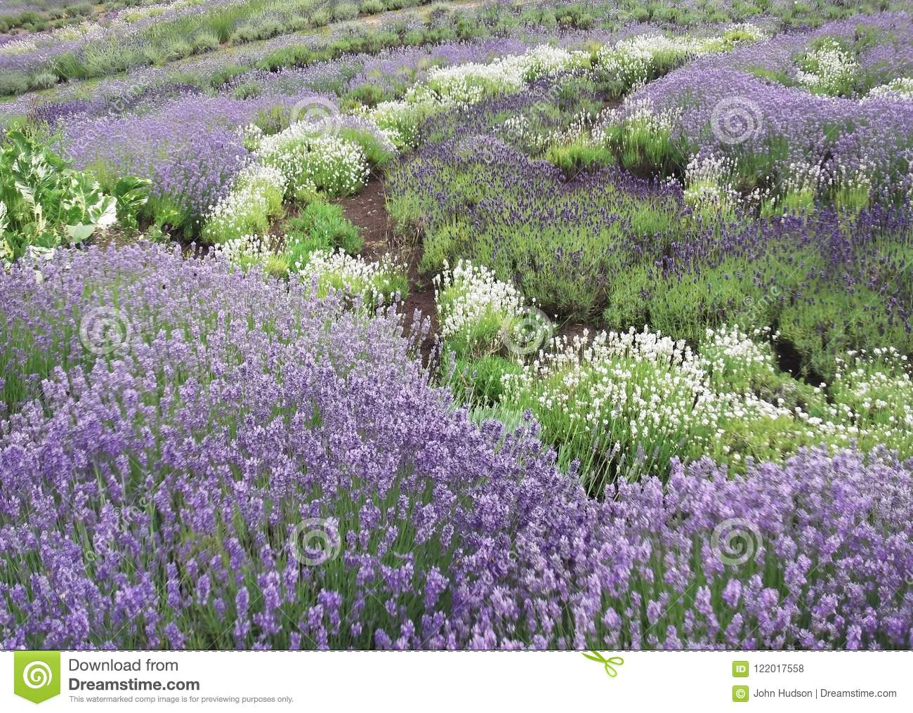 Lavender bushes in profusion in mid summer