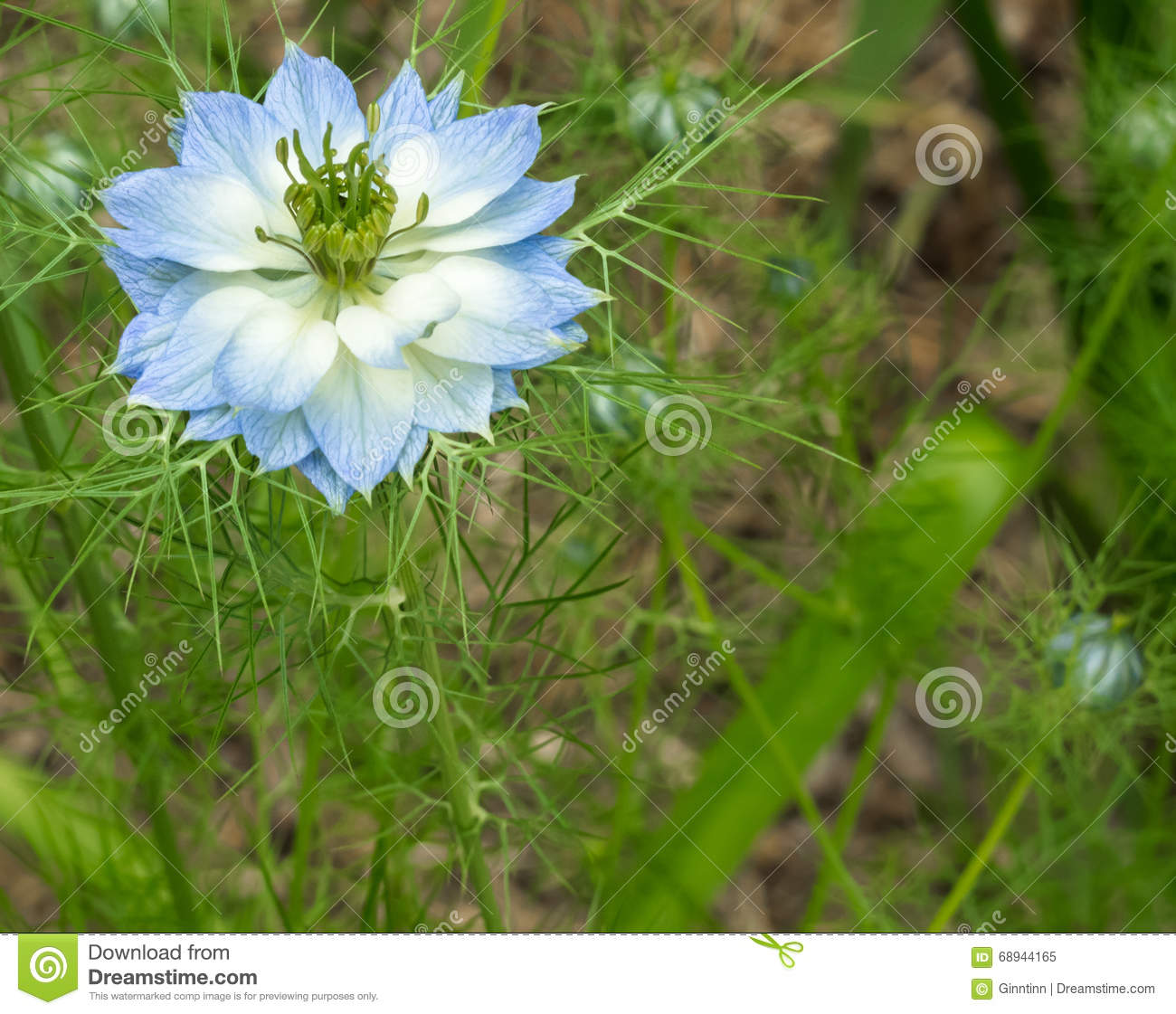 Blue and white love in a mist flower stock image image of single download blue and white love in a mist flower stock image image of single mightylinksfo