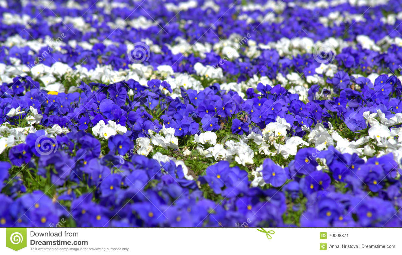 Blue white pansy flowers stock image image of garden 70008871 blue white pansy flowers mightylinksfo