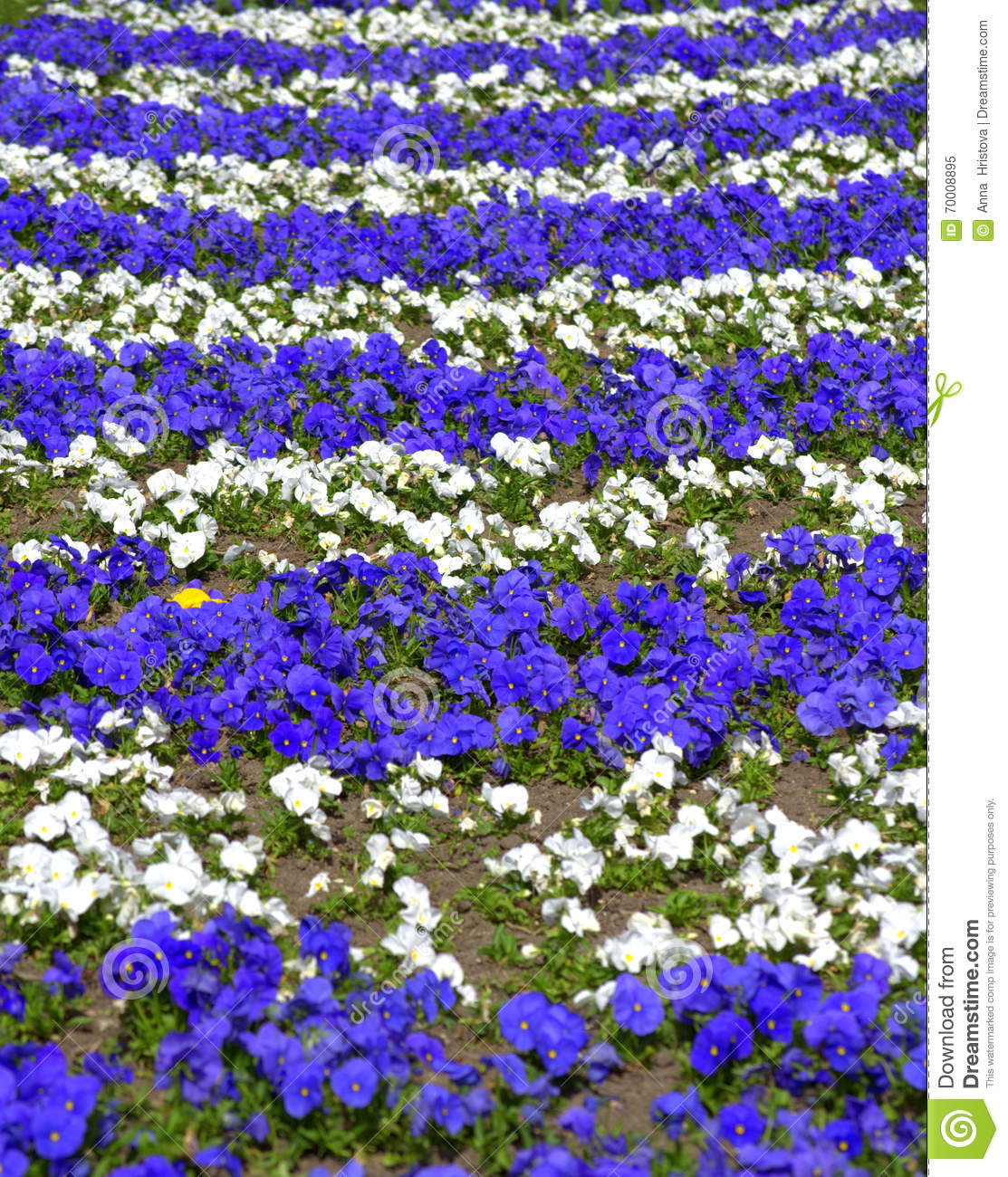 Blue white pansy flowers stock image image of ornamental 70008895 download comp mightylinksfo