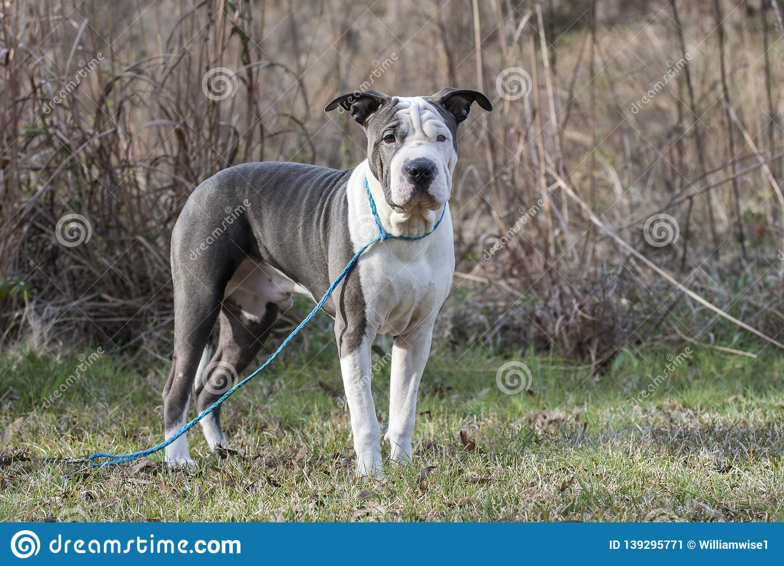 Blue And White Sharpei American Bulldog Mixed Breed Dog Stock Image