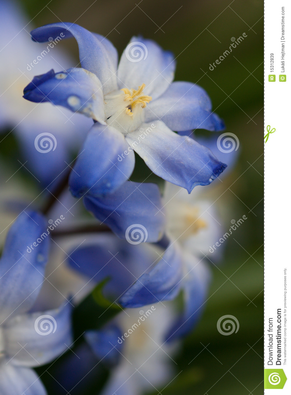 Blue and white spring flowers stock image image of botany first blue and white spring flowers mightylinksfo Choice Image