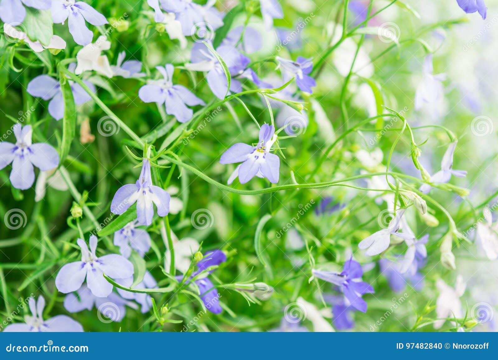 Blue and white trailing lobelia sapphire flowers or edging lobelia blue and white trailing lobelia sapphire flowers or edging lobelia garden lobelia mightylinksfo