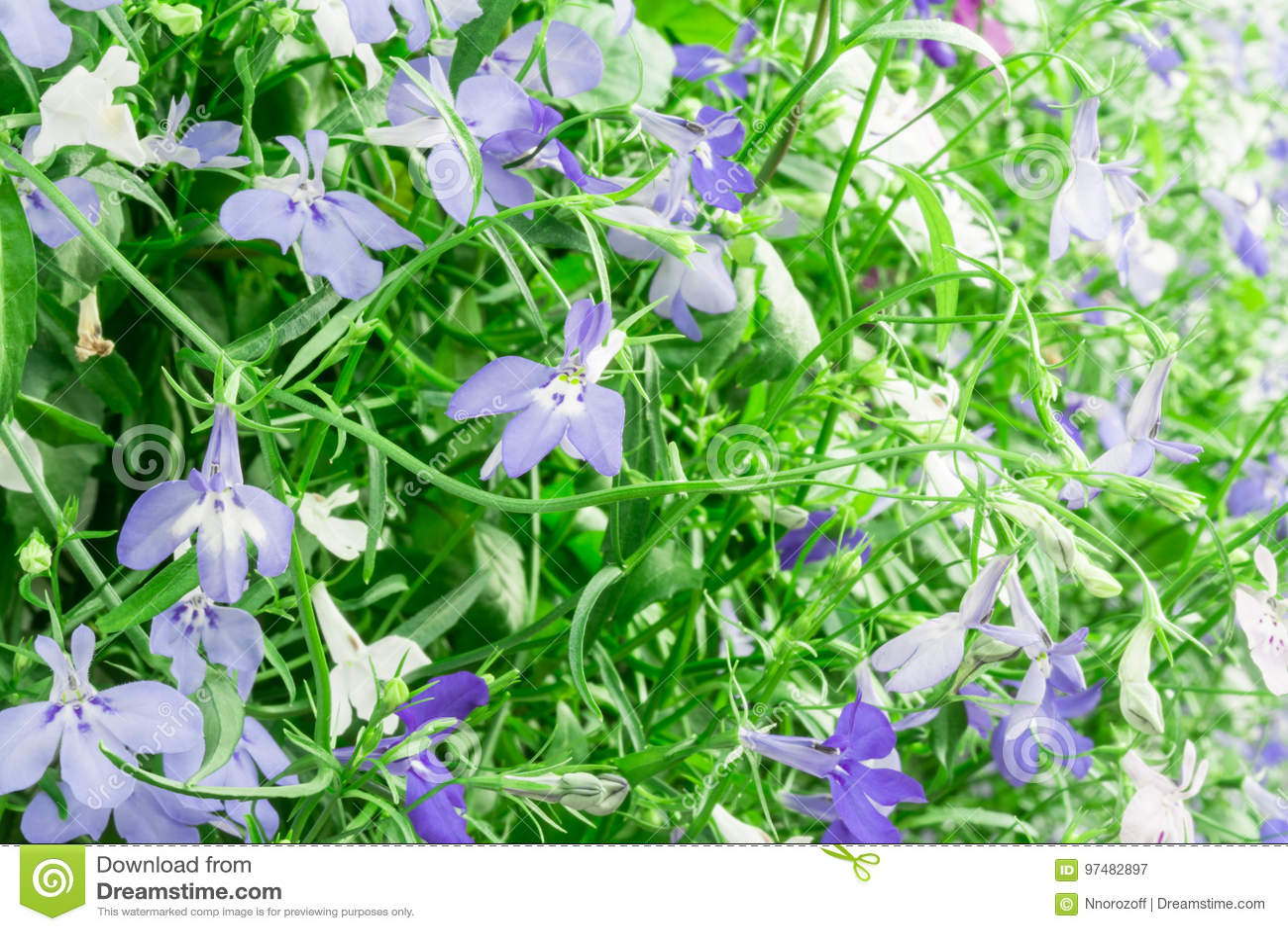 Blue and white trailing lobelia sapphire flowers or edging lobelia blue and white trailing lobelia sapphire flowers or edging lobelia garden lobelia its latin name is lobelia erinus sapphire native to south africa mightylinksfo