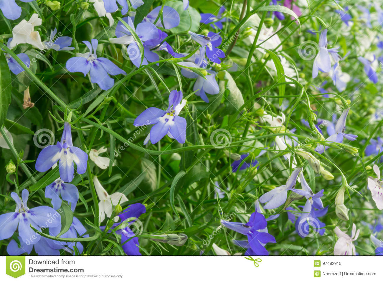 Blue And White Trailing Lobelia Sapphire Flowers Or Edging Lobelia
