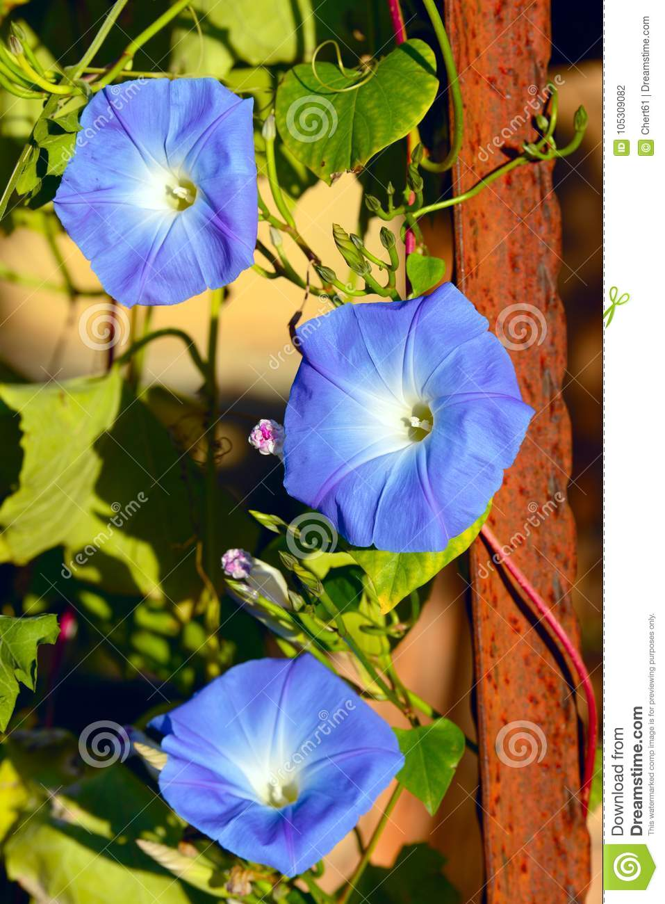Blue White And Yellow Stock Photo Image Of Blossom 105309082