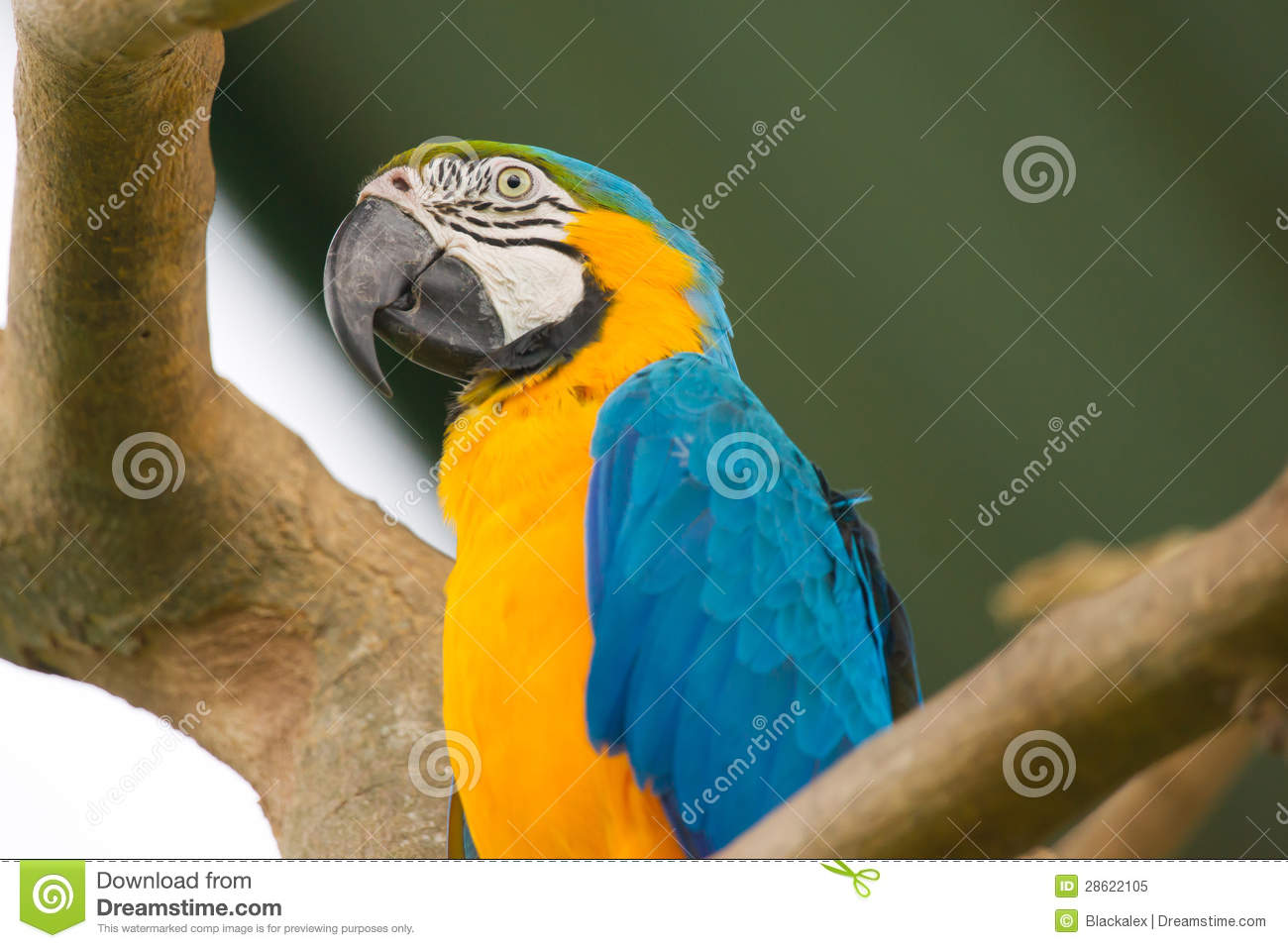 Blue, White and Yellow Macaw