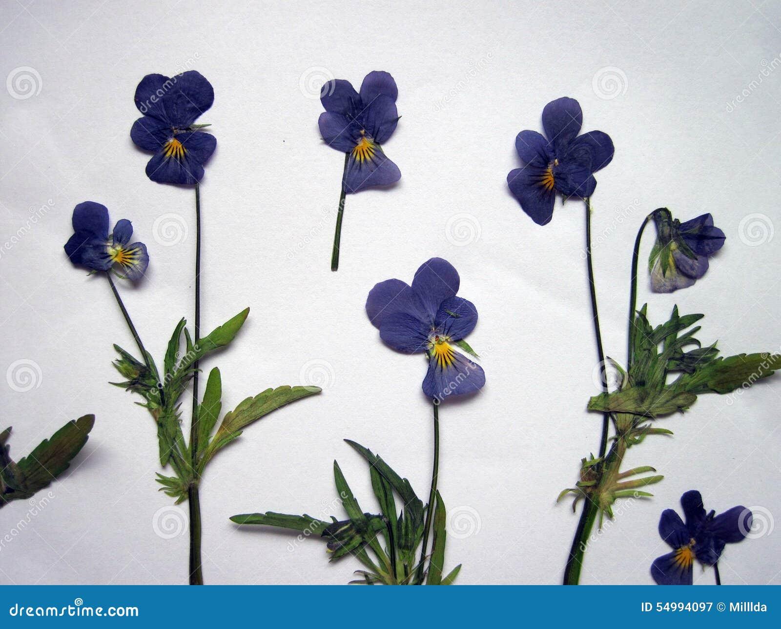Blue wild dried pansy pattern