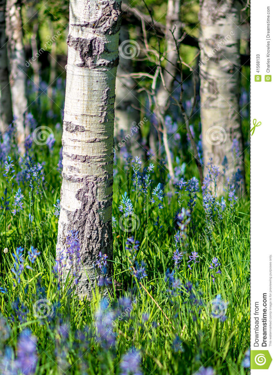 Blue wild flowers in a grove of aspen trees stock photo image 41568133 - Flowers that grow on tree trunks ...