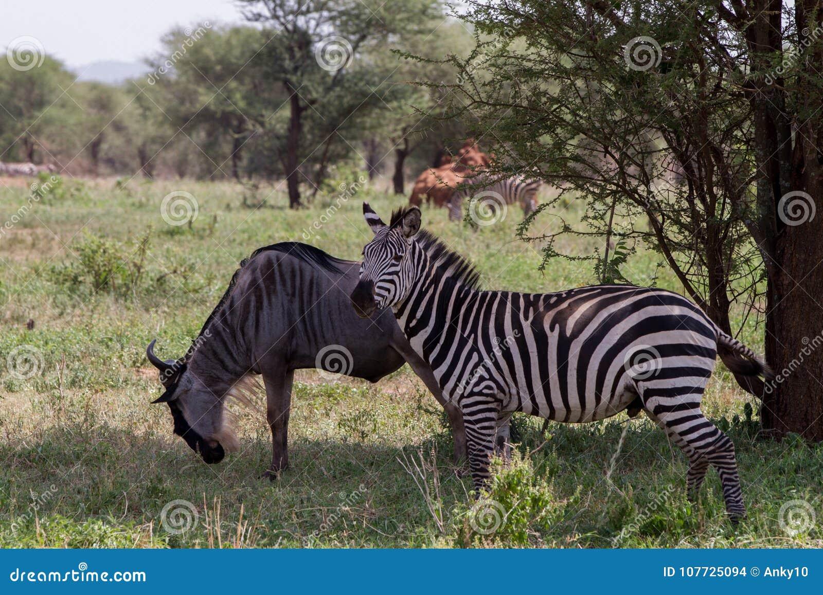 Blue wildebeest and zebras n the Tarangire National Park, Tanzania